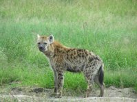 "Hyena [also ""spotted hyena""]"